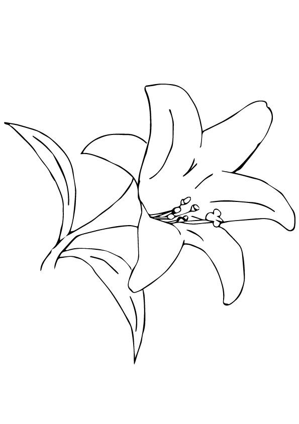 A Desert Lily