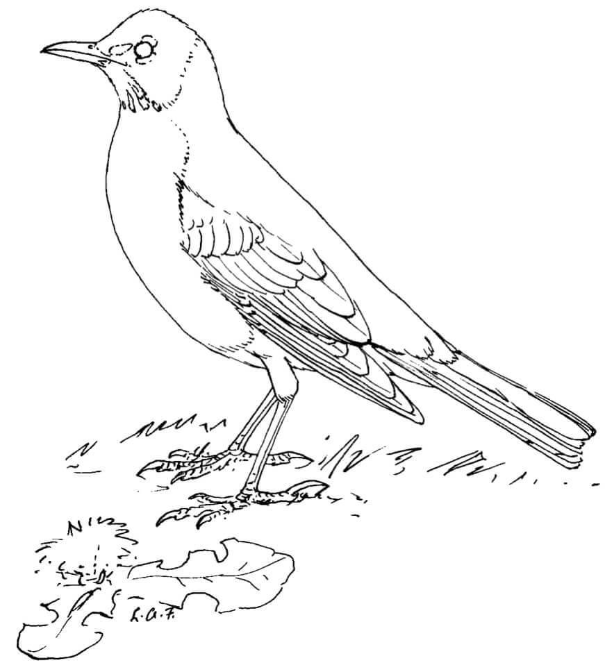Normal Crow
