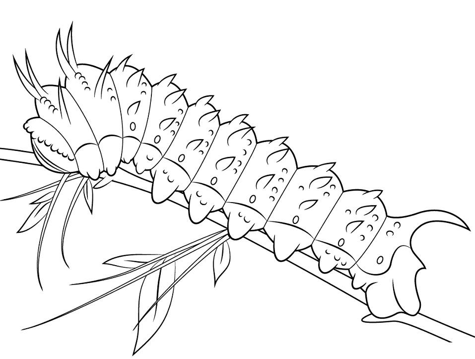 Hubbards Silkmoth Caterpillar