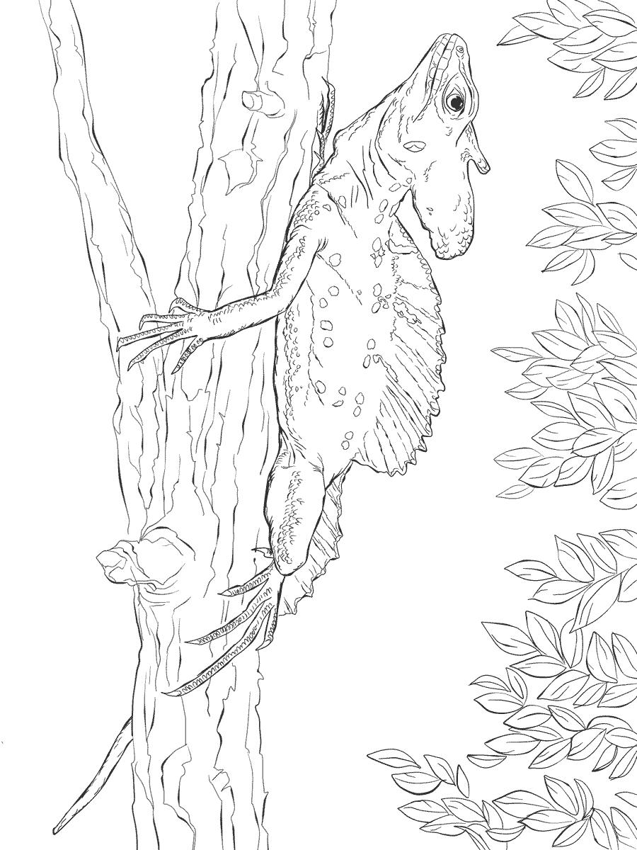 Common Basilisk Lizard Coloring Page Free Printable