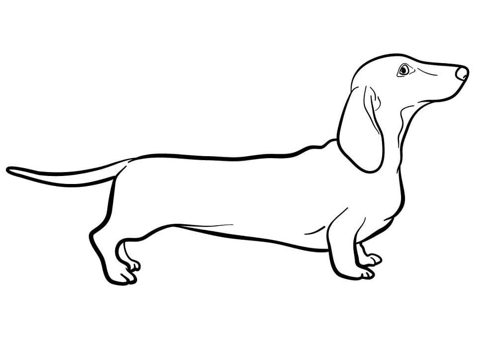 A Dachshund Dog