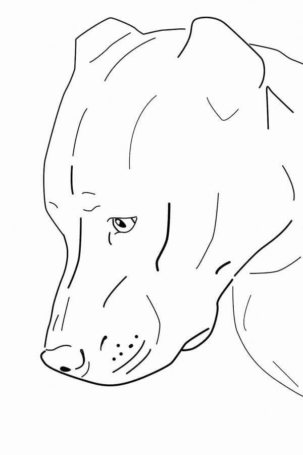 A Pitbull Dog