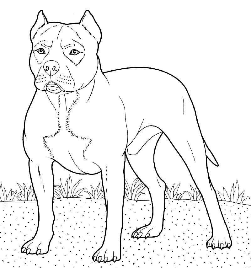 A Pitbull