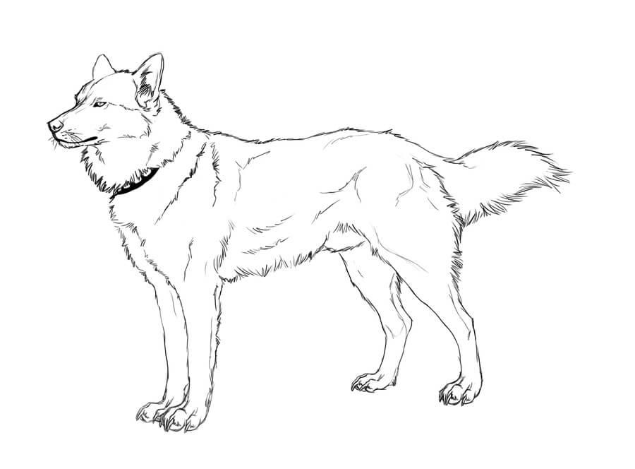 Cool Husky