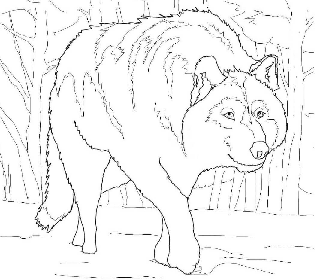 Crouching Gray Wolf