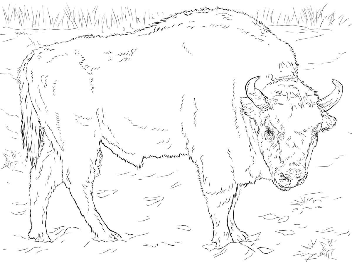 European Bison 1