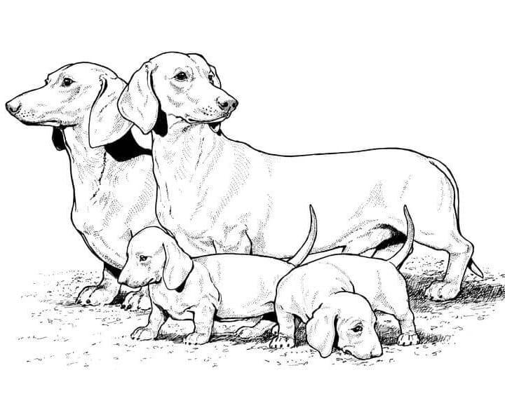 Family Dachshund