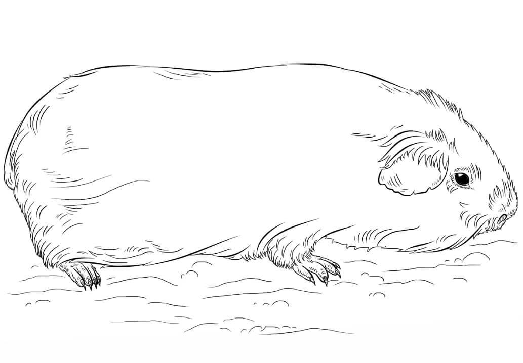 Normal Guinea Pig