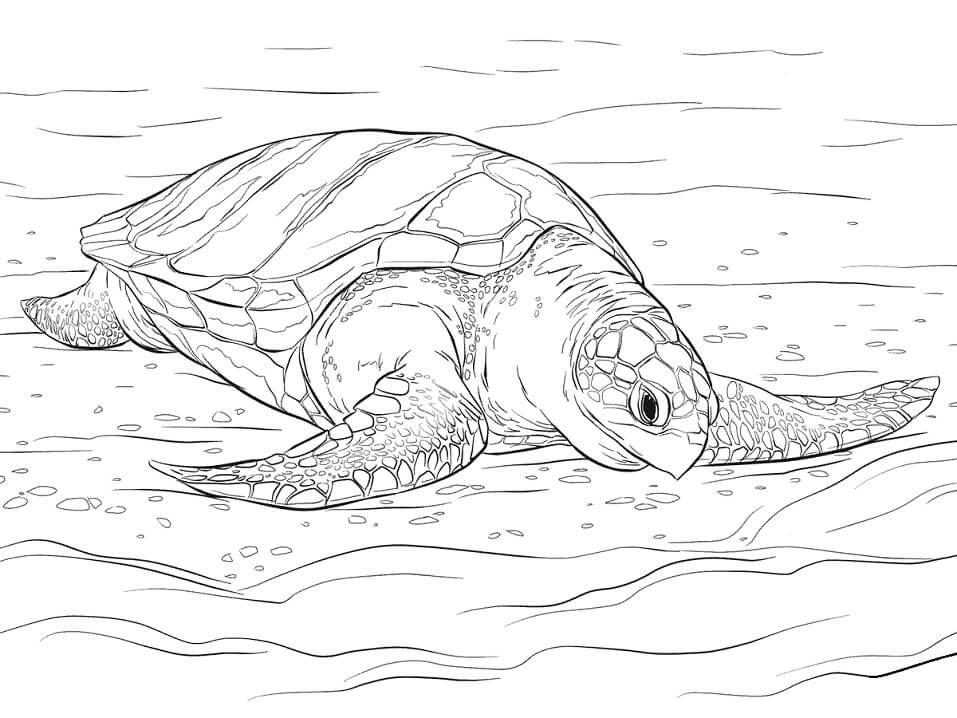 Olive Ridley Sea Turtle