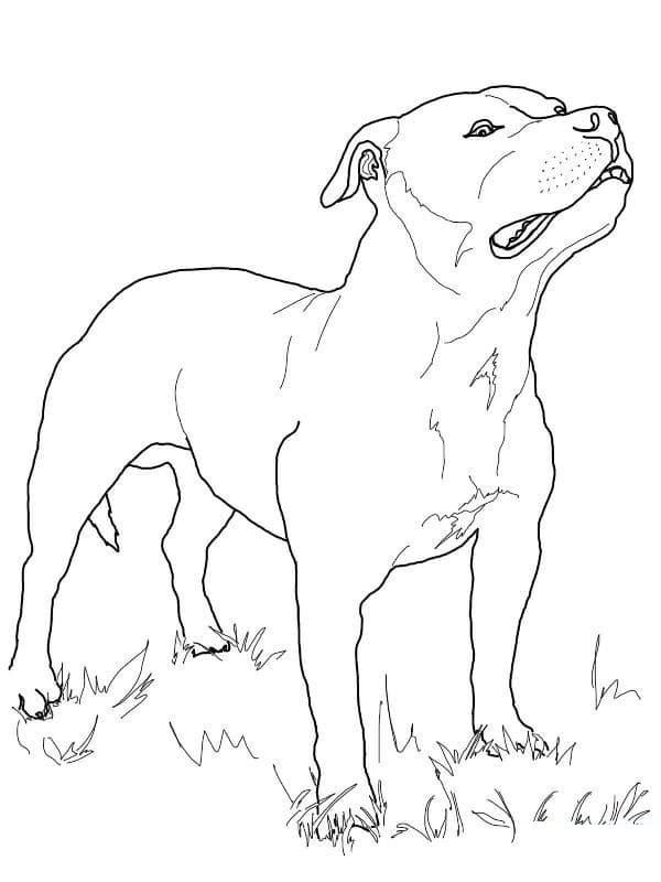 Pitbull on Grass