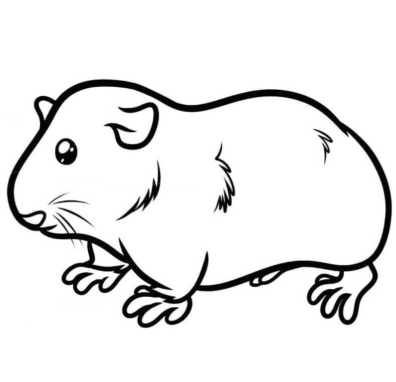 Pretty Guinea Pig