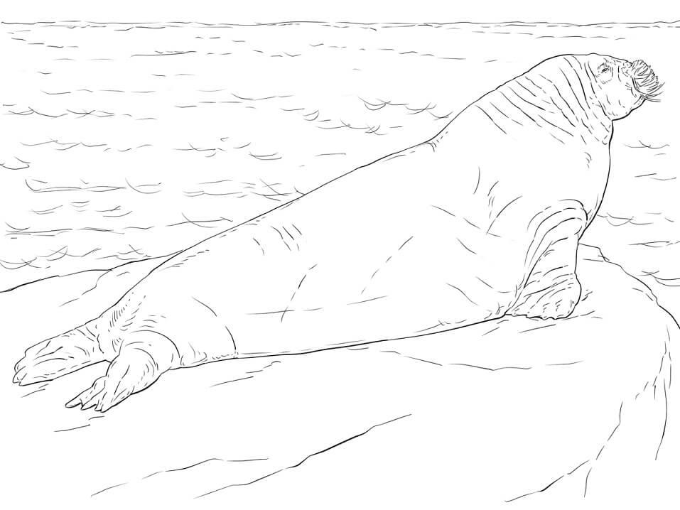 Realistic Walrus